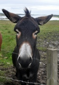 Dan 3 donkey