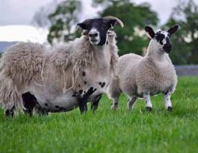 endrick sheep two.jpg mules