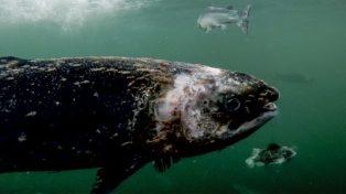 Salmon damaged Damaged-salmon-in-Loch-Roag-2-thanks-to-Corin-Smith