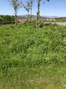 Grass needing cut
