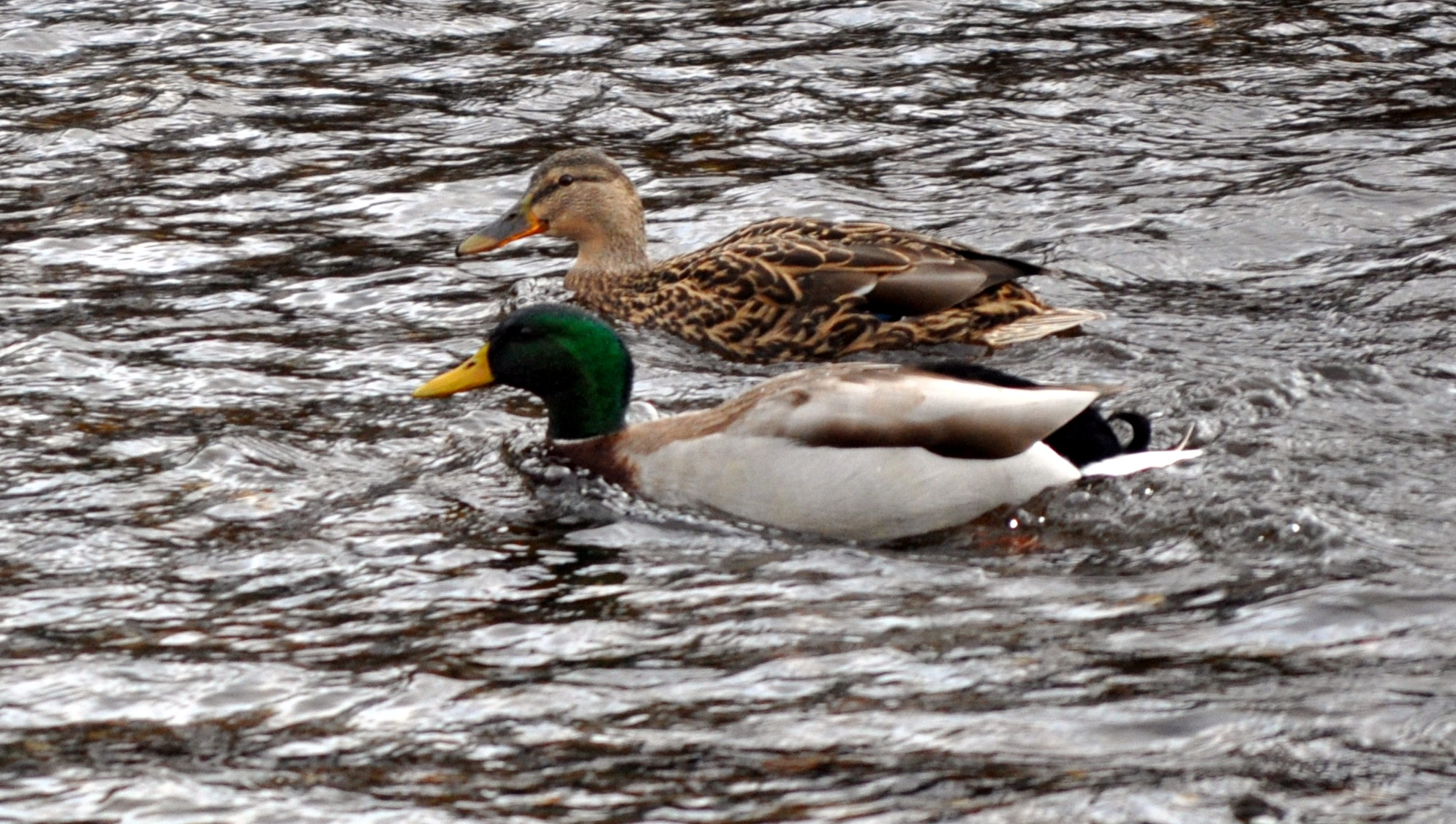 RAINING: BUT IT'S LIKE WATER OFF A DUCK'S BACK
