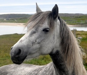 Connacht 4 A Connemara pony pictured at Claddaghduff, near Cleggan