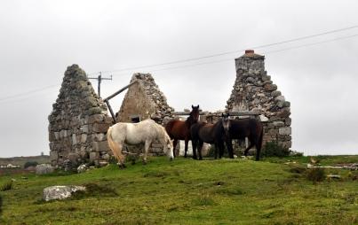 King 11 Connemara ponies sheltering from the rain Near Claddaghduff.