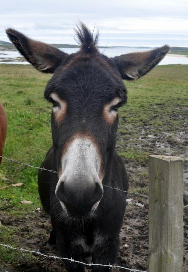 Dan 3 Connemara donkey