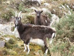goats on Loch Lomond
