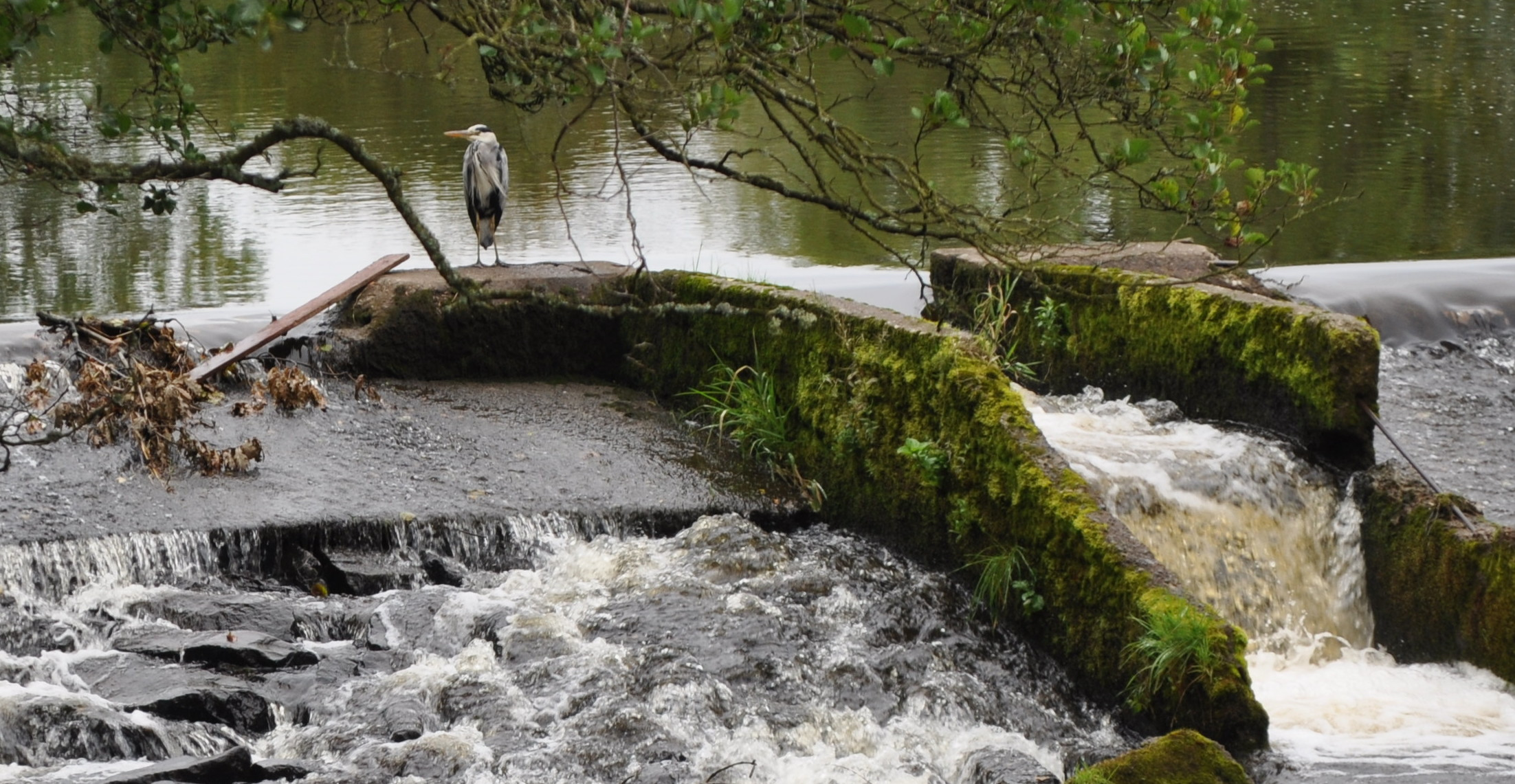 Landowners bid to shoot more protected birds to save wild salmon
